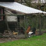 たくさんの鶏たち